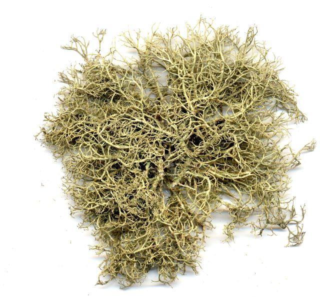 Tree lichen.