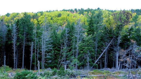 The trees during yesterday's walk in Kniffen's Hollow, Bear River.