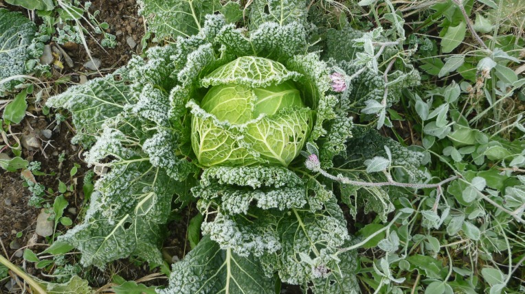 Cabbage waiting to become Borscht soup.