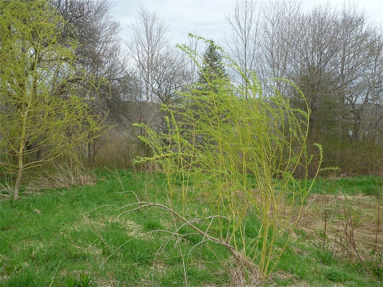 Our 10 willow trees are looking more and more like a grove.