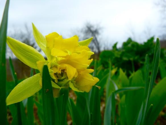 Heritage Daffodil