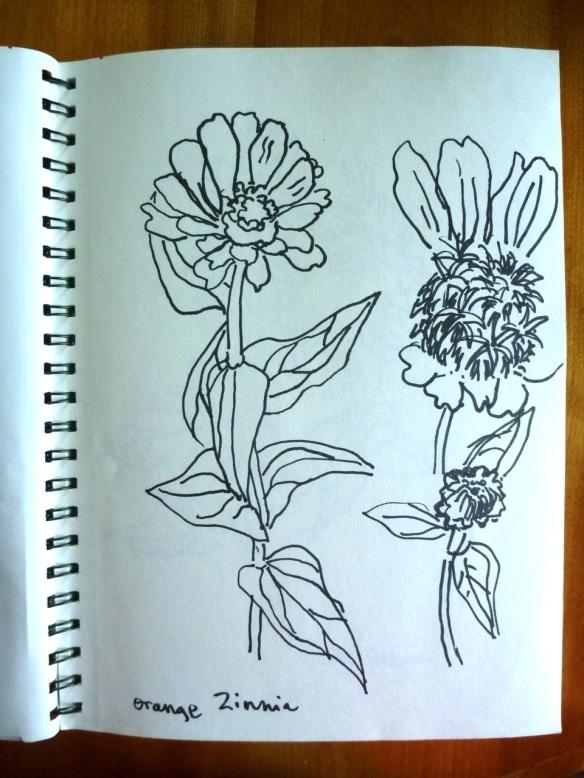Zinnia drawing © Flora Doehler, 2014