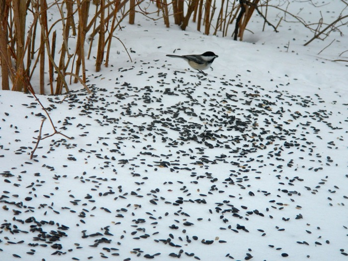 When I couldn't get to the birdfeeder, I threw the seed onto the metre deep snow.