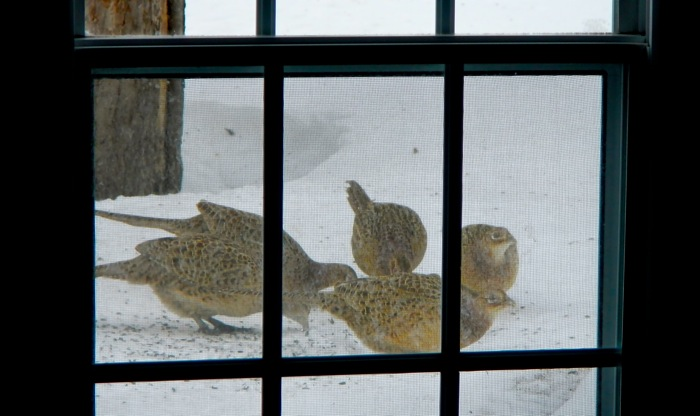 Pheasants live in the bushes around our house and also visit the bird feeder.