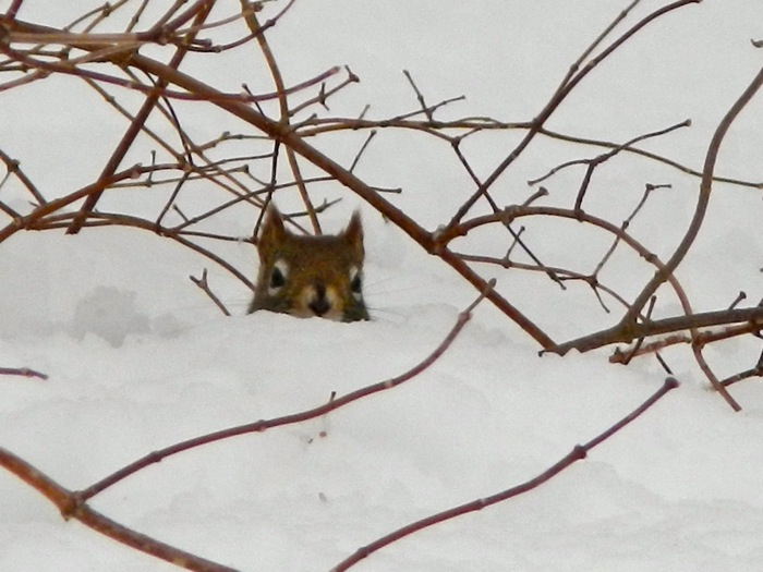 My little friend the red squirrel moved out of our attic and into a snow cave.