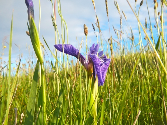 Wild tiny iris are in bloom all over the island.