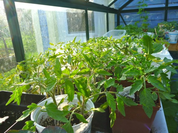 I'm growing 6 different varieties of Tomatoes in the greenhouse.