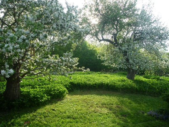 Ancient Apple trees in their glory, surrounded by goutweed.